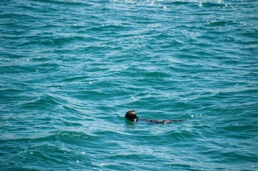 180912_Morro otters-1