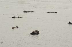 180912_Morro otters-2