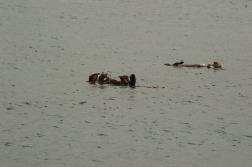 180912_Morro otters-3