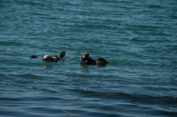 180912_Morro otters-4