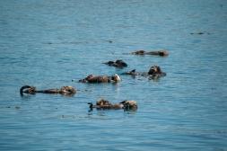 180912_Morro otters-5