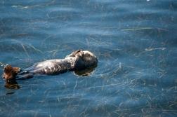 180912_Morro otters-6