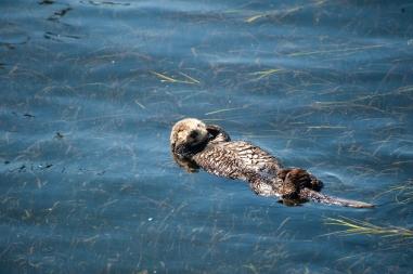180912_Morro otters-7