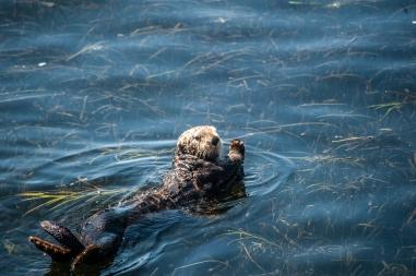 180912_Morro otters-8